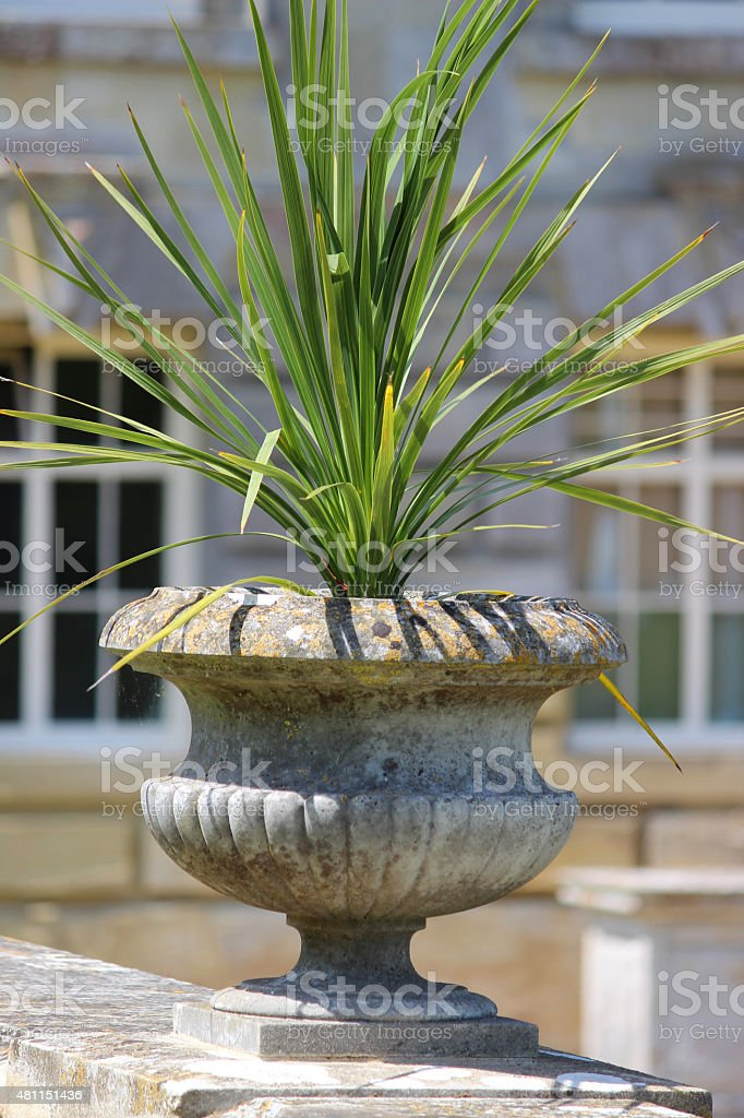 Image of cordyline australis (cabbage palm) growing in stone planter-pot stock photo