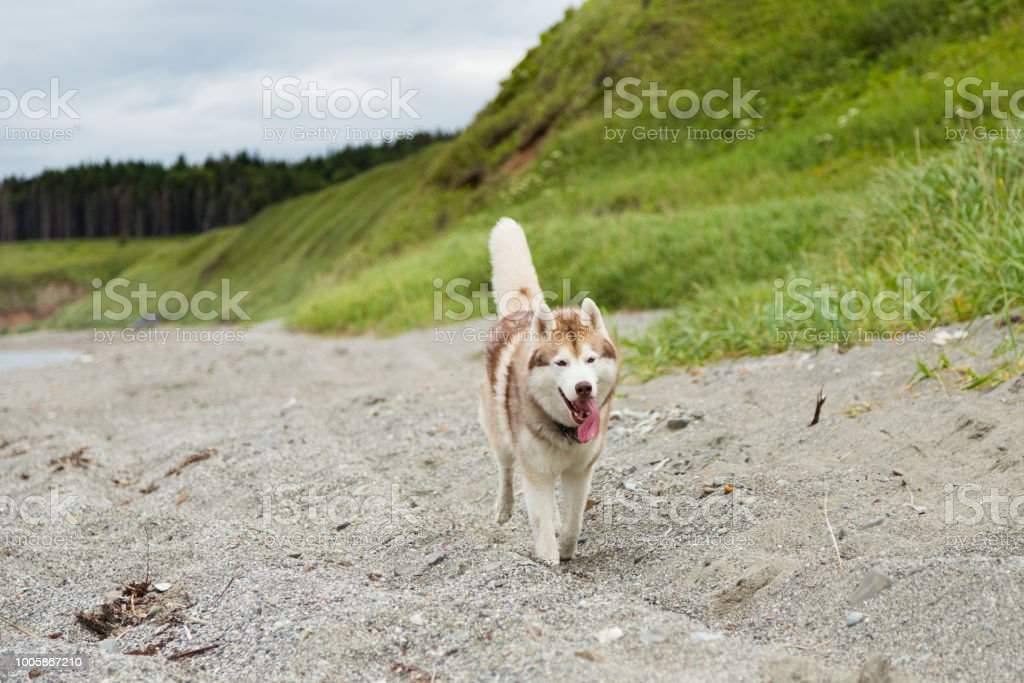 One day with happy husky dog on the shore of the sea in summer. Image...