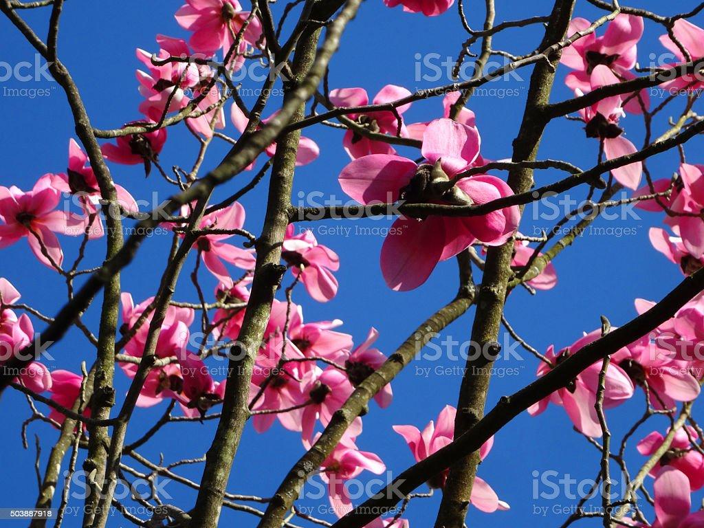 Image Of Dark Pink Flowers On Magnolia Tree Against Bluesky Stock