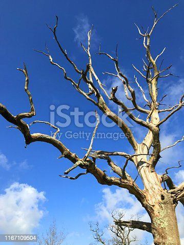 Stock photo of dead common English oak tree / quercus robur dying after disease with dramatic twisted dead branches and driftwood reaching into the blue sky like fire isolated against blue sky clouds, ancient English oak tree dying of old age in woodland garden