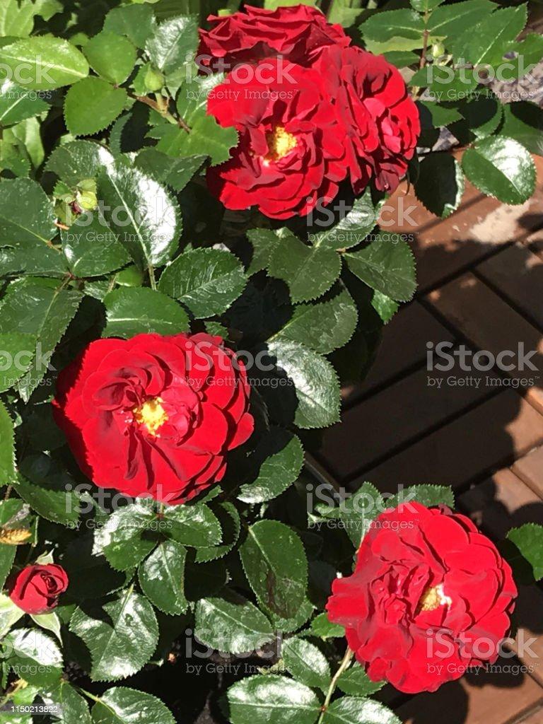 Petites Plantes Fleuries En Pot photo libre de droit de image de fleurs de rose rouge