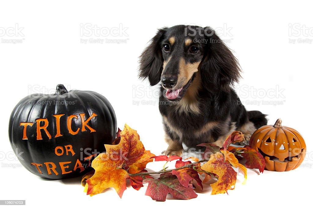 Image of dog sitting next to Halloween decorations royalty-free stock photo