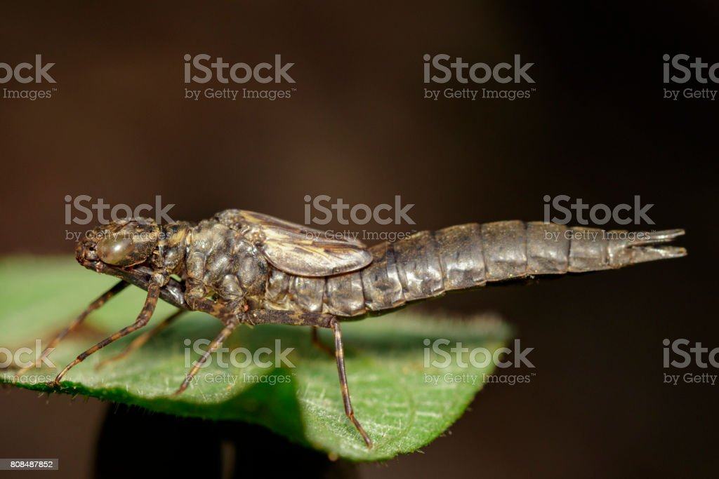 Image of dragonfly larva dried on green leaves. Insect Animal stock photo