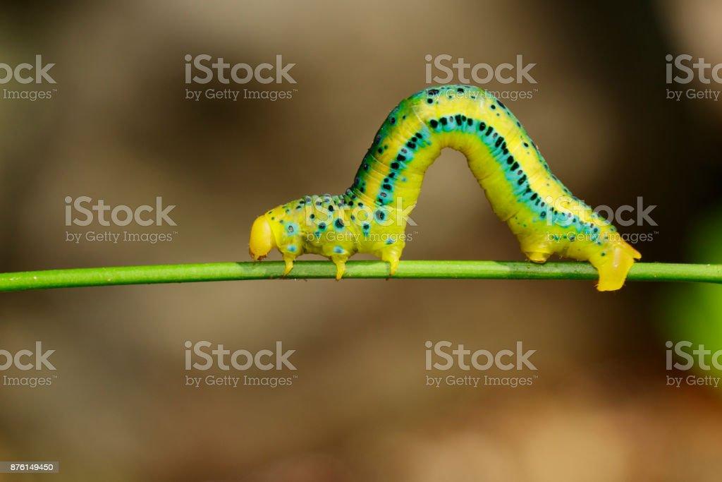 Imagem de Dysphania Militaris caterpillar no fundo da natureza. Inseto Animal. - foto de acervo