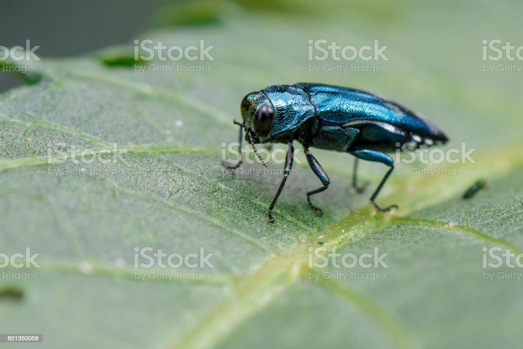 Imagem de esmeralda Ash Borer escaravelho numa folha verde. Inseto. Animal - foto de acervo
