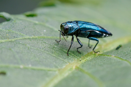 istock Image of Emerald Spotword Borer Beetle on a green leaf. Insect. Animal 851350058