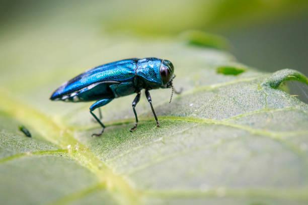 imagen de emerald ash borer escarabajo de hoja verde. insectos. animal - pez sierra fotografías e imágenes de stock
