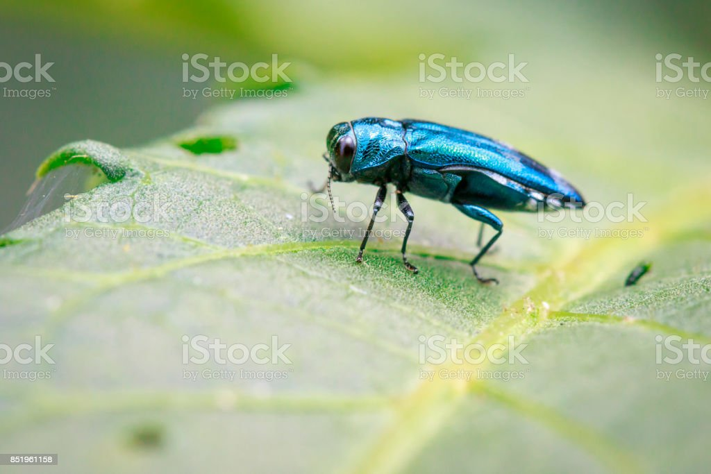 Image of Emerald Ash Borer Beetle on a green leaf. Insect. Animal stock photo
