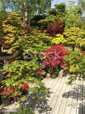 Stock photo of English oriental style landscaped garden with Japanese maples trees acers growing in flower pots, koi pond, wooden grooved decking timber painted white, azaleas flowers, tall trees, trimmed conifer hedge, leylandii hedge / Leyland cypress hedging