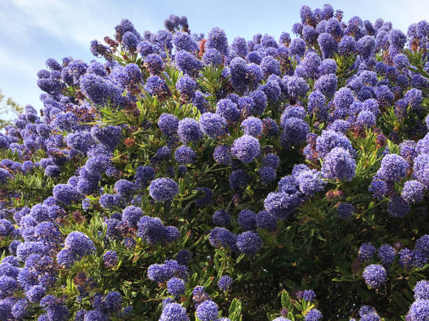 Bild von englischen Steinblumengarten mit blauen Ceanothusblüten (blauer Saphir) auf kalifornischem Fliederstrauch, der am Strand wächst, salzbeständige blühende immergrüne Sträucher, blauer Ceanothus, geeignet für raue Bedingungen und volle Sonnenb – Foto