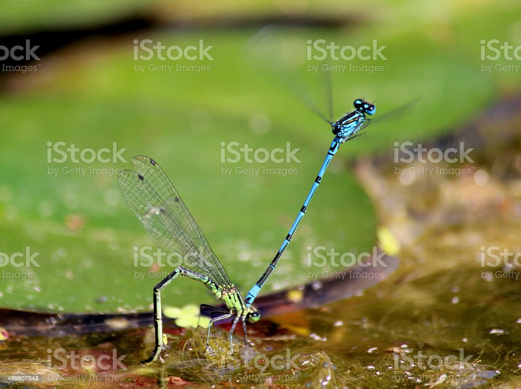 Image of European damselflies mating, laying eggs in garden pond royalty-free stock photo