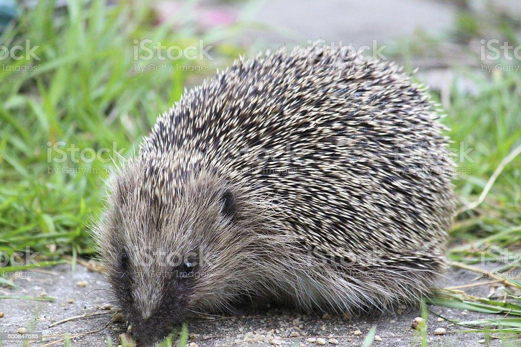 Image of European hedgehog in back garden, eating hedgehog food royalty-free stock photo