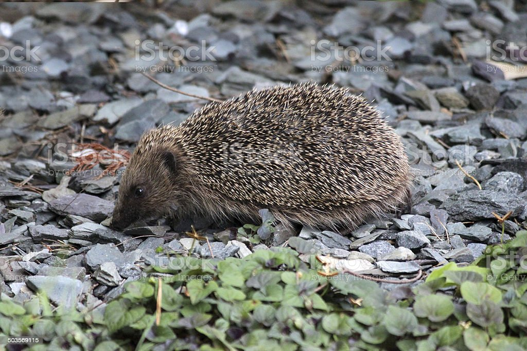 Image of European hedgehog in back garden, looking for food royalty-free stock photo