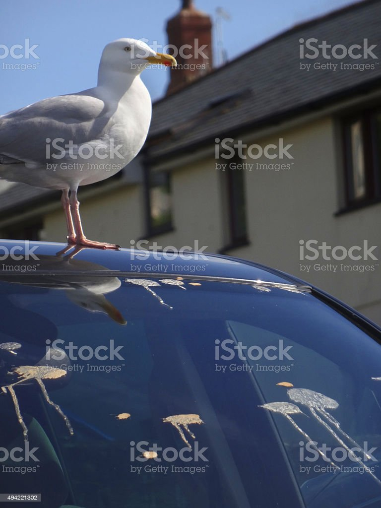 Image of European herring hull, seagull bird-droppings on car windscreen stock photo
