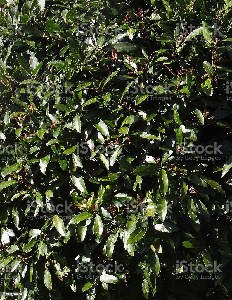 Immagine Di Sempreverde Albero Di Alloro Siepe Foglie (laurel/laurus  Nobilis) Foto Stock
