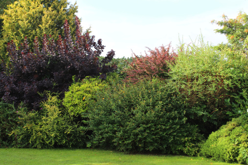 Image Of Evergreen Shrubs In Garden Border Growing In Shade Stock