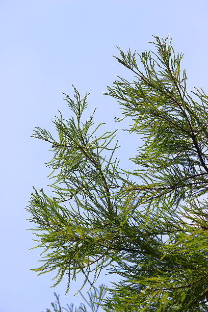image of feathery foliage / needles on swamp cypress (taxodium distichum) - bald cypress tree stockfoto's en -beelden