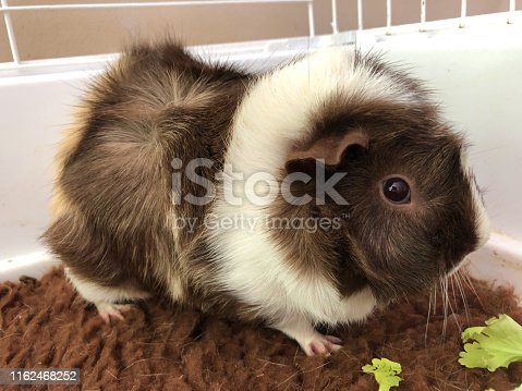 Stock photo of feeding tame, pretty white and brown pet guinea pig cavy breed with rosettes swirls and spiky hair cavies, looking after Abyssinian guinea pigs care, pet animal in indoor cage eating lettuce leaves on washable brown vet bedding mat fleece matting
