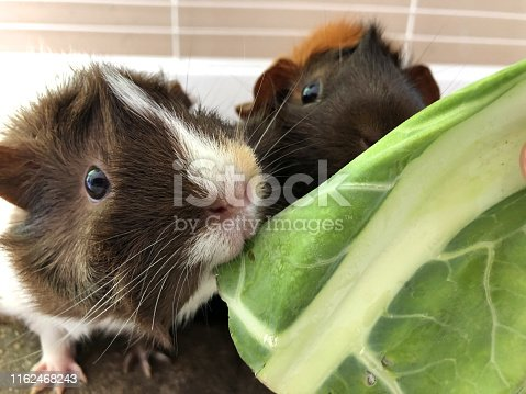 Stock photo of feeding tame, pretty white, ginger and brown tortoise shell pet guinea pigs cavy breed with rosettes and spiky hair cavies, looking after Abyssinian guinea pig care, pet animal in indoor cage eating cabbage leaves on washable brown vet bedding