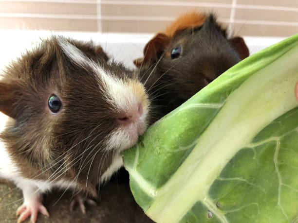 Image of feeding tame, pretty white, ginger and brown tortoise shell pet guinea pigs cavy breed with rosettes and spiky hair cavies, looking after Abyssinian guinea pig care, pet animal in indoor cage eating cabbage leaves on washable brown vet bedding stock photo