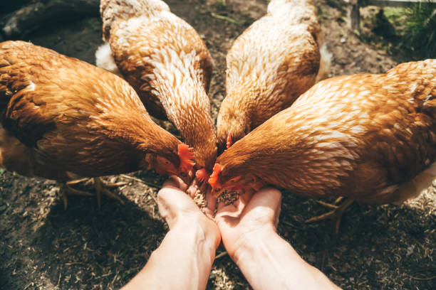 POV image of female hands feeding red hens with grain, poultry farming concept