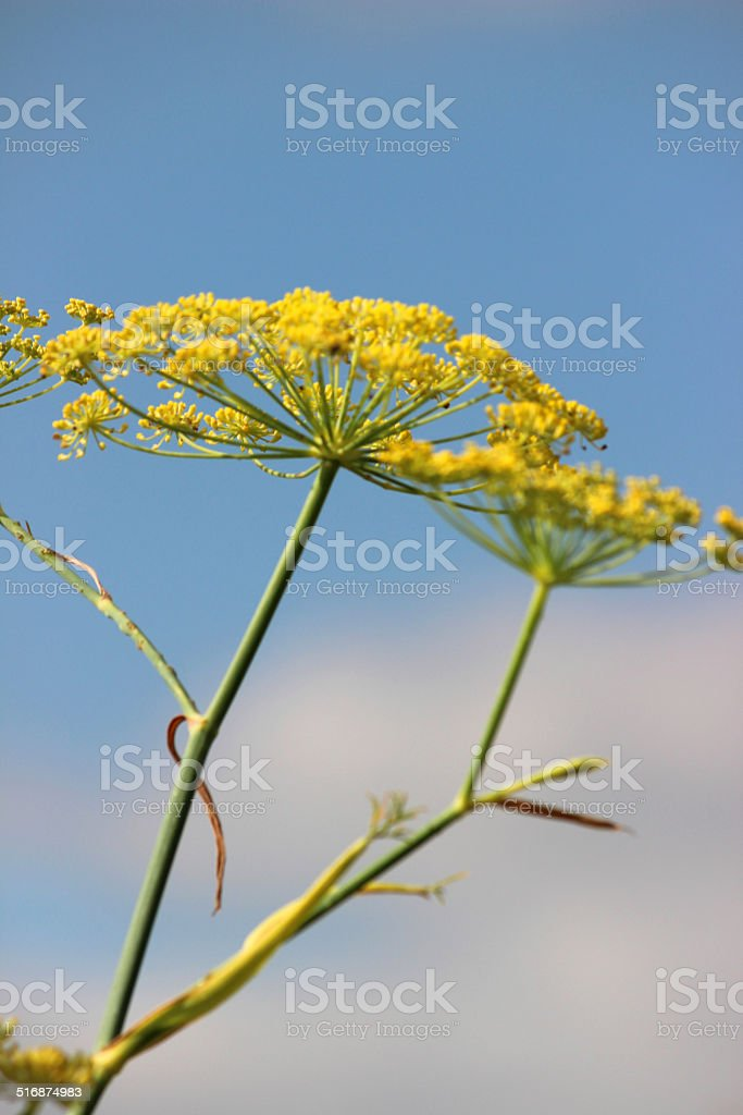 Image of fennel flower / seeds, fennel seed head, herb garden stock photo