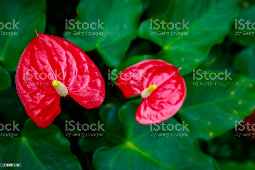 Image of Flamingo flower, Pigtail Anthurium or Pigtail flamingo flower on nature background. stock photo