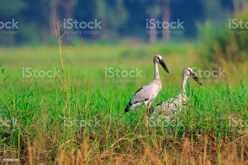 Image of Flocks open-billed stork or Asian openbill on nature background.. Wild Animals. Birds stock photo