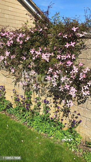 Stock photo of flowering clematis montana vine climbing plant growing on garden stone wall covered in pink flowers in spring, with small blooms, blossoms and flowerbuds with four petals, yellow anthers pollen and tendrils, by lawn grass turn / purple aquilegias