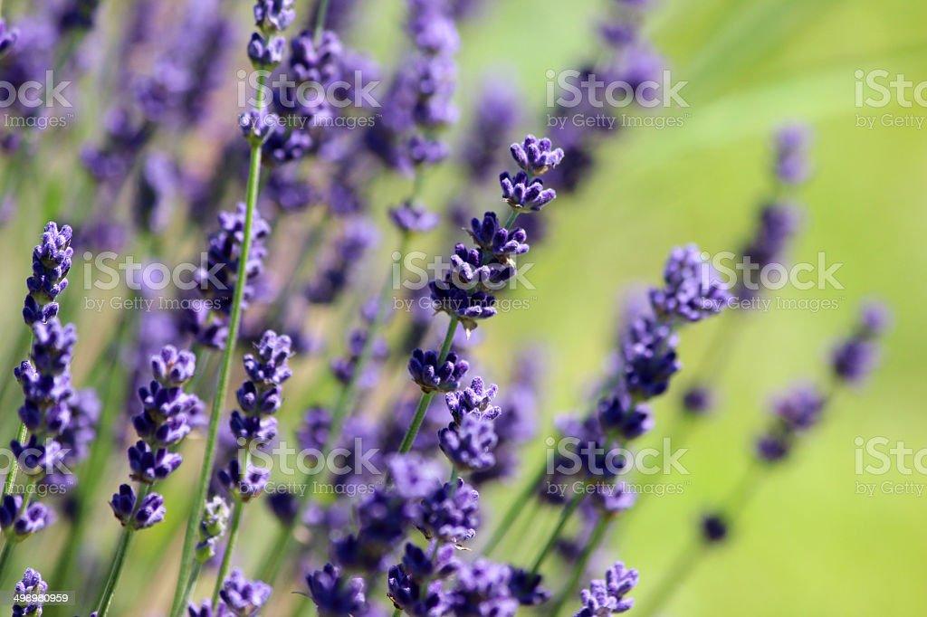 bild von bl henden pflanzen lavendel lila lavendel blumen garten stock fotografie und mehr. Black Bedroom Furniture Sets. Home Design Ideas