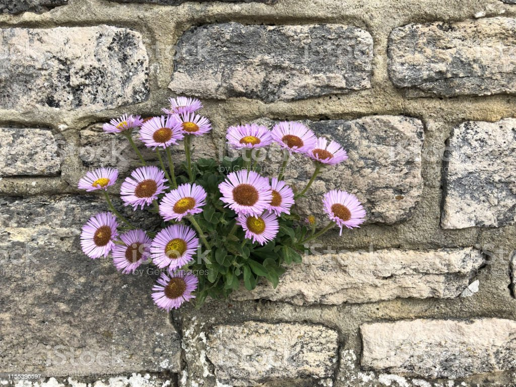 Stock photo of flowering lilac purple pink beach aster daisy flowers...