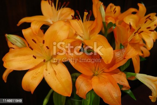 Stock photo of orange tiger lily flowers against black background, flowering tiger lilies floral arrangement with blooms in tall vase, showing flower stamens with pollen and orange petals