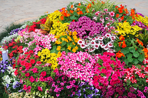 Stock photo showing a summer garden paved patio with a mounded flower bed containing multicoloured blooming petunias, nasturtiums and geraniums.