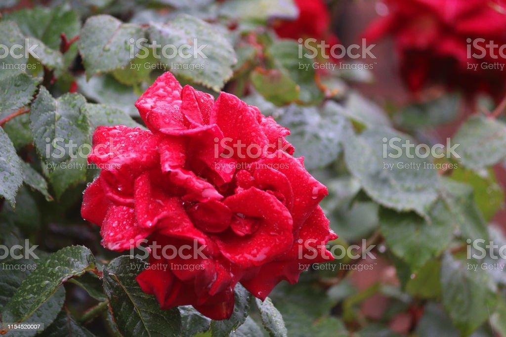 Imagen De Rosas Rojas Con Floración Con Gotas De Agua Que ...