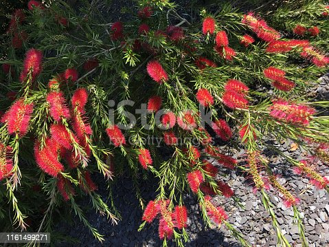 Stock photo of tropical red bottlebrush flowers (Callistemon citrinus 'Splendens') growing in sunny garden with large blooms and small green leaves, with grey slate mulch, exotic sub-tropical garden shrub with red bottle brush flowers close-up