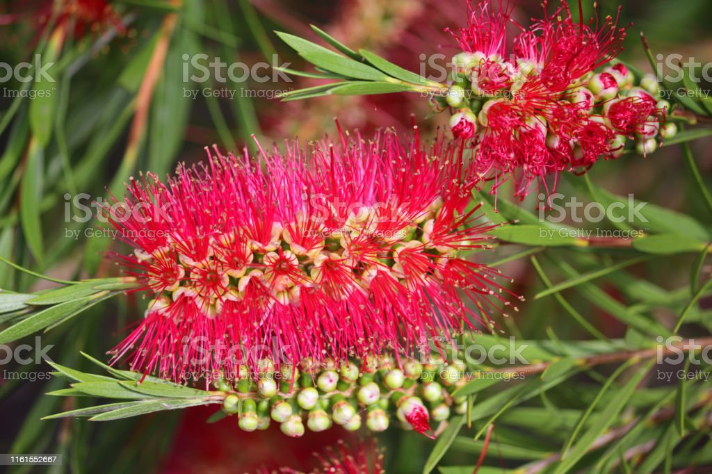 Stock photo of tropical red bottlebrush flowers with red bottle brush...