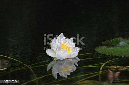 Stock photo of green miniature water lily pads floating in small garden pond with limited space and water surface, providing shade for goldfish fish and helping keep pond water clear.