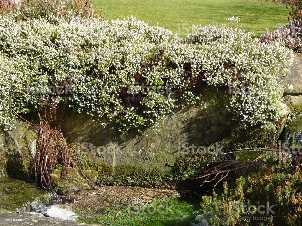 Image Of Flowering White Heather In Rockery Rockgarden By Stream ...