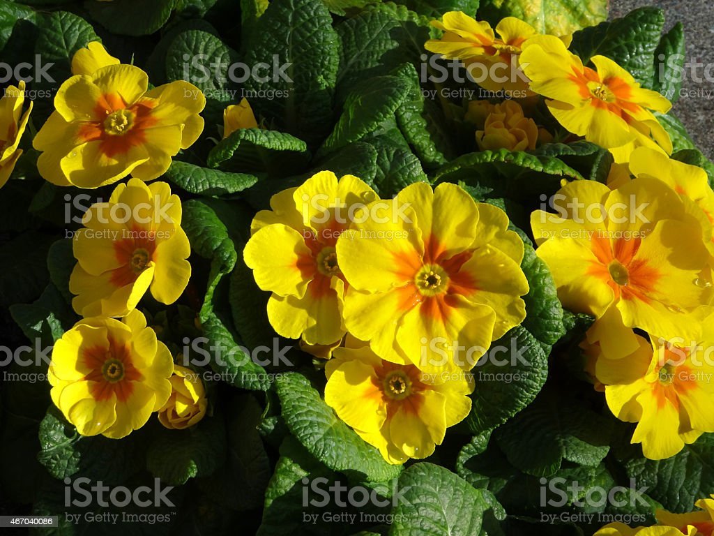 Image of flowering yellow primroses annual winter spring bedding image of flowering yellow primroses annual winter spring bedding plants royalty free stock izmirmasajfo