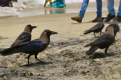 Image of flying black Indian crows on sunny beach scavenging on beach in strong sunshine, crow birds on Kovalam Beach, Kerala, South India, golden sand at tropical seaside, turquoise blue waves lapping sea shore crows fly by tourists on holiday vacation