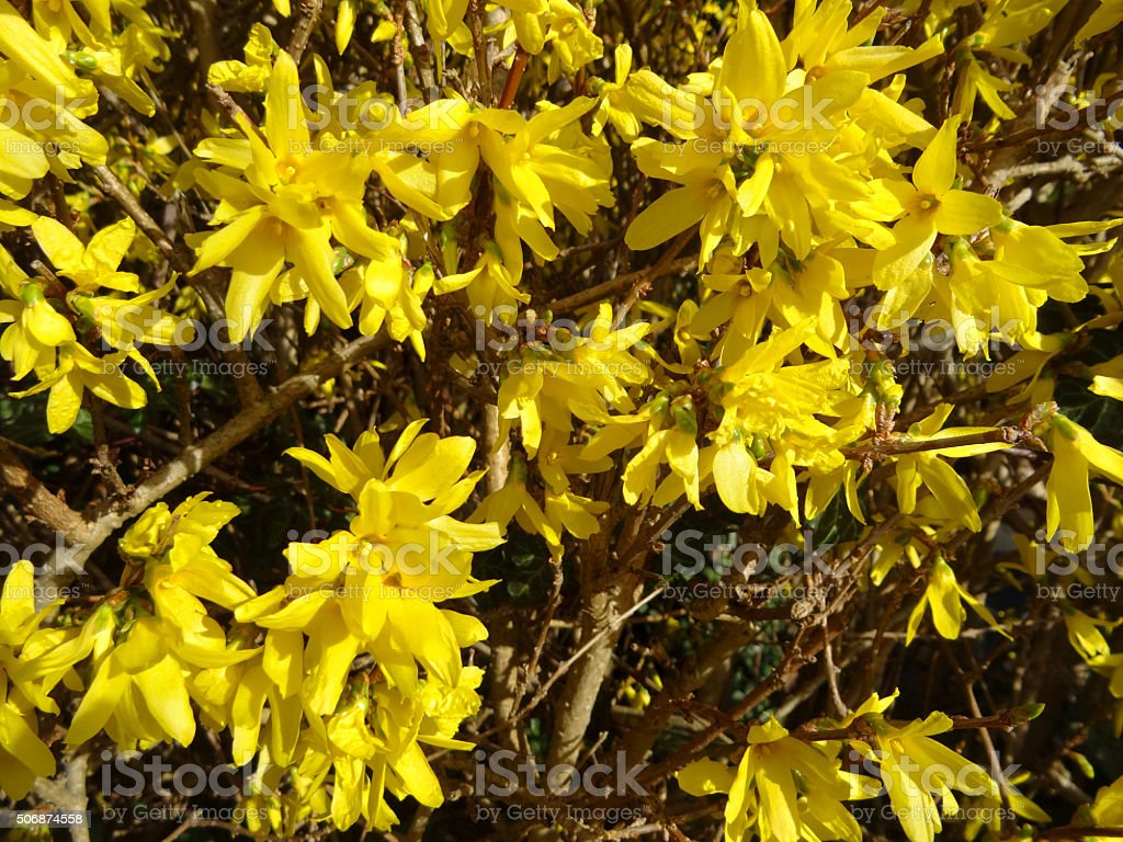Arbusto A Fiori Gialli image of forsythia shrub in garden pruned to form hedge