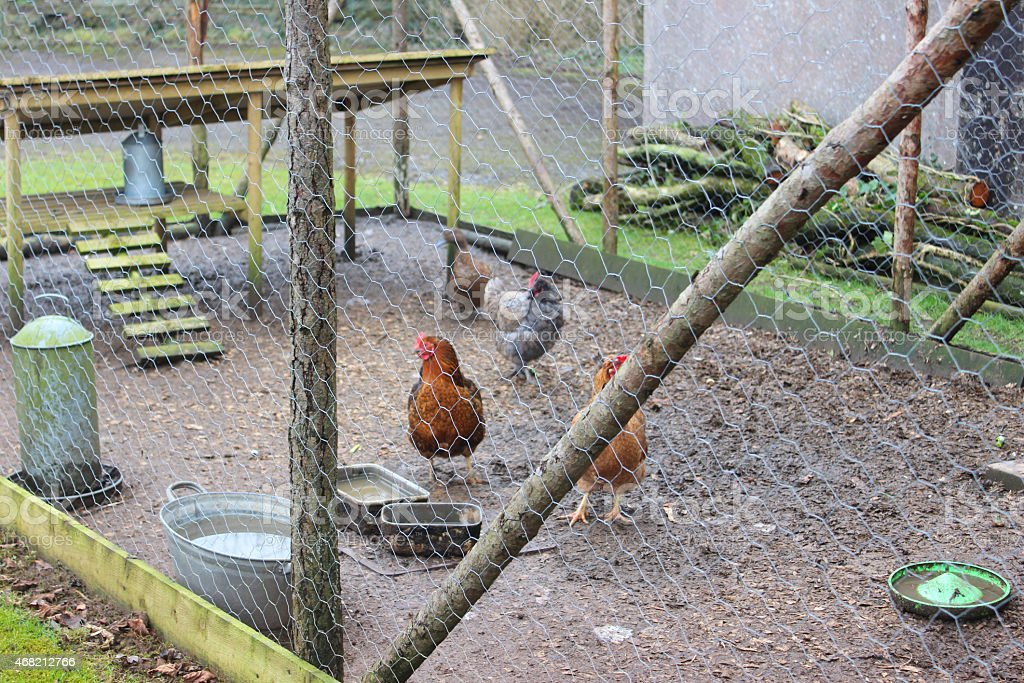 Image Of Free Range Chickens Large Outdoor Run Pen