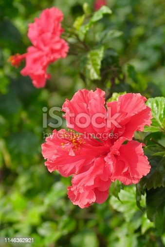 Stock photo showing red frilly / frilled hibiscus flowers on shrub / small tree. This pretty red mallow hibiscus blooms plant is also called rose mallow, Latin name hibiscus schizopetalus.