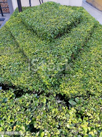 Stock Photo of front garden with topiary evergreen privet hedge plants (ligustrum vulgare) clipping into geometric diagonal shapes, diamonds and squares, European common privet hedging shrubs after neat pruning, trimming and gardening
