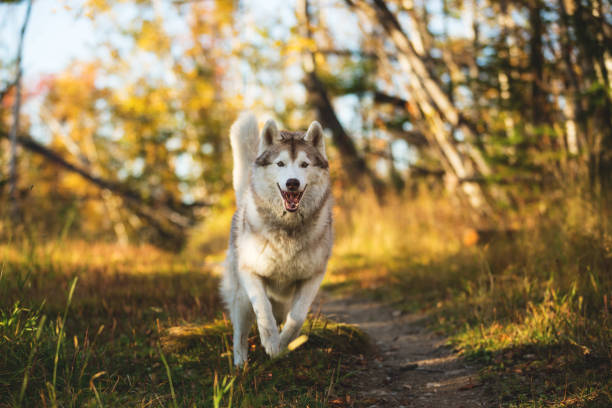 Image of funny dog breed siberian husky running on the path in the picture id1050353300?b=1&k=6&m=1050353300&s=612x612&w=0&h=xn6qo5mio0xtt199jw2thr8q7hchczyphoxsk4w6m 8=