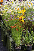 Stock photo of flowers and herbaceous perennial plants in plastic pots and planters\nfor sale / sold at gardening street market / garden centre with white daises in group, purple flowering daisy asters, summer bulbs, cosmos, herbs, evening primrose in full bloom