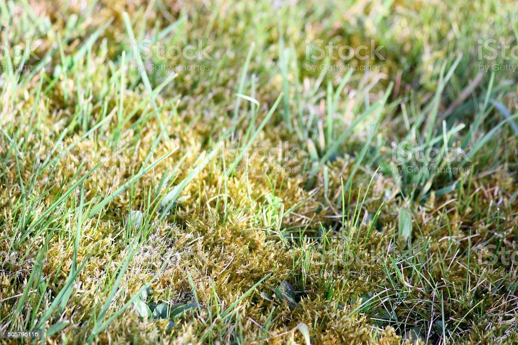 Image of garden lawn moss, overgrown grass, weeds, dead thatch stock photo