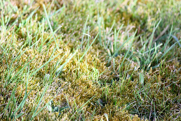 Image of garden lawn moss, overgrown grass, weeds, dead thatch stock photo