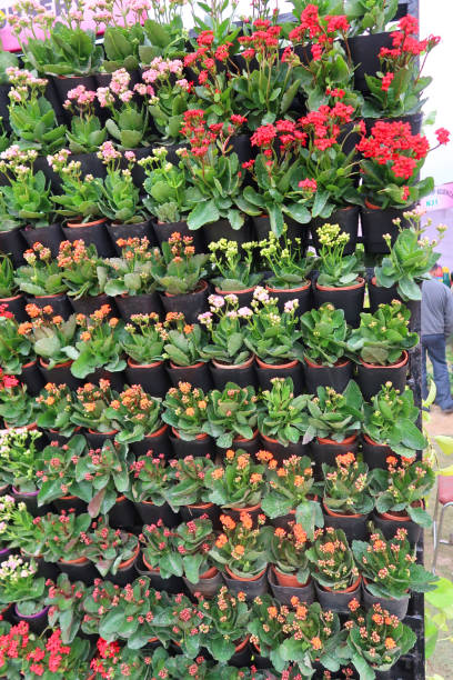 Image of garden living wall of Kalanchoe (Flaming Katy) plants growing in black plastic pots, red flowering living wall facade of green foliage planting, needing water irrigation system, space saving garden design stock photo
