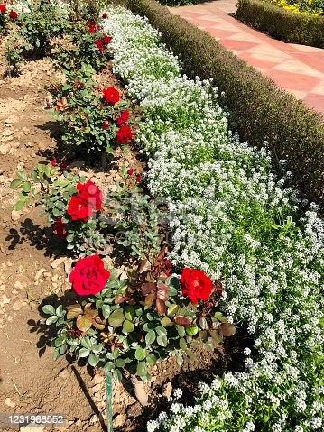 Stock photo showing a sunny flower border of red rose bushes and low growing white alyssum (Lobularia maritima).